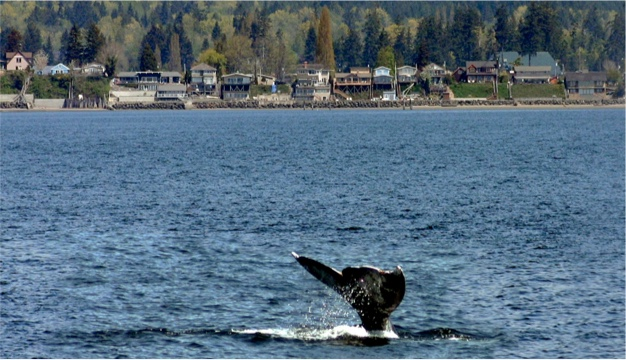 Snohomish County Whale